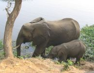 Elephant and baby drinking